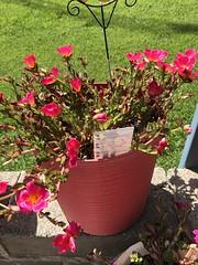 c2018 June 18, Purslane Red (King Kong 911) Tags: flowers plants blooms yellow peach green elephant ears pots growing