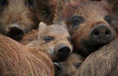 Wild Boar Piglets (Nigel Hodson) Tags: canon 1dxmkii humbug piglet piglets pig boar wildboar nature naturephotography wildlife wildlifephotography forestofdean