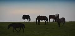 Na coxilha (Eduardo Amorim) Tags: cavalos caballos horses chevaux cavalli pferde caballo horse cheval cavallo pferd tropilhas tropilla tropillas crioulo criollo crioulos criollos cavalocrioulo cavaloscrioulos caballocriollo caballoscriollos campo field champ auffangen pampa campanha pelotas costadoce riograndedosul brésil pôrdosol poente entardecer poniente atardecer sunset tramonto sonnenuntergang coucherdesoleil crepúsculo anoitecer mindigtopponalwaysontop brasil sudamérica südamerika suramérica américadosul southamerica amériquedusud americameridionale américadelsur americadelsud cavalo 馬 حصان 马 лошадь ঘোড়া 말 סוס ม้า häst hest hevonen brazil eduardoamorim