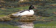Goosander on the Wharfe (keithhull) Tags: goosander duck riverwharfe wharfedale northyorkshire bird 2018