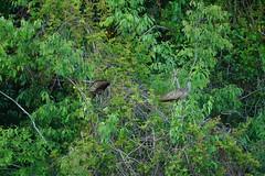 DSC00603.jpg (joe.spandrusyszyn) Tags: gruiformes unitedstatesofamerica limpkin paynespraire vertebrate nature bird aramus aramidae florida gainesville byjoespandrusyszyn aramusguarauna animal