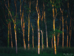El bosque camino a Sope (Mimadeo) Tags: forest sunlight sunshine beautiful trees tree dark darkness shadow shadows sunset green grass trunks backlit landscape light sun sunny daylight