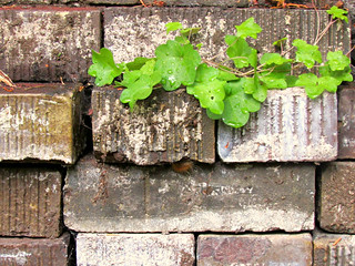 Kenilworth Ivy & Bricks, Monroe, WA