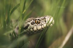karst viper (szugic) Tags: snake snakes vipera ursinii ursiniimacrops karstviper serpent montenegro poison venomous sargan