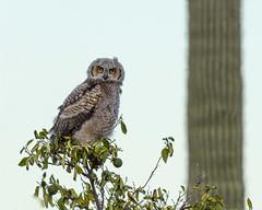 First Day out of the Nest (dan.weisz) Tags: owl owlet greathornedowl raptor birdofprey tucson bird