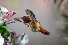 A Sweetheart... (Patricia Ware) Tags: 500mmf4lisusm allenshummingbird alstroemeria backyard birdsinflight california canon fullframe manhattanbeach multipleflash selasphorussasin ©2018patriciawareallrightsreserved specanimal sunrays5
