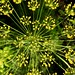 6067ex blooming dill