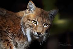 Schau´ mir in die Augen, Kleines (babsbaron ( Bella )) Tags: natuere tiere animals katzen cats raubkatzen bigcats grossaktzen säugetiere mammals canon eos wildpark lüneburg lüneburgerheide luchse lynx