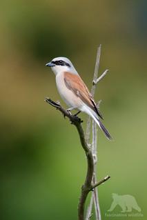 Red-backed Shrike #explored