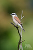 Red-backed Shrike (fascinationwildlife) Tags: animal bird birding vogel neuntöter würger rotrückenwürger wild wildlife nature natur spring deutschland germany sachsen eastern europe tree bush red backed shrike
