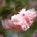 Cherry blossoms / Sato-zakura / 里桜(サトザクラ)