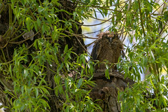 Great horned owlet after heavy rains. (Mel Diotte) Tags: great horned owl juvenile wild nature baby raptor hunter talons eyes explore mel diotte nikon bird feathers wet rain soaked owlet