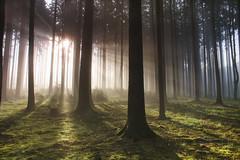 In the morning light (frantiekl) Tags: forest woodlant trees light morning woods shadows fog nature landscape may sunshine sunlit bohemia