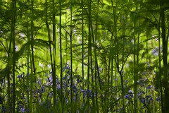OverShadowed (Tony Tooth) Tags: nikon d7100 nikkor 55300mm ferns bluebells green blue countryside danebridge staffs staffordshire flowers blueflowers