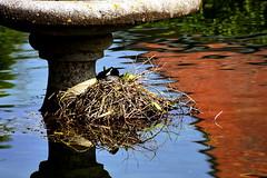 Préparation de la relève... (Diegojack) Tags: lisle vaud suisse d7200 eau reflets venoge rivière nid oiseaux foulque macroule