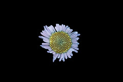 Santa Barbara Daisy s (C. Burrows) Tags: