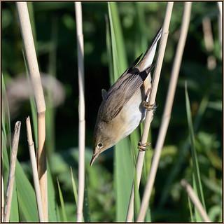 Reed Warbler (image 2 of 2)