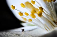 Meeting... (Altazur) Tags: 7dwf flora abstract stamen poppy flower fleur macro
