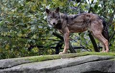 Loup ibérique - Canis lupus signatus (jenny' pix) Tags: zoo animaux animals carnivores canidés canis lupus signatus loup ibérique iberian wolf