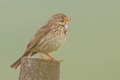 Corn Bunting (drbut) Tags: cornbunting emberizacalandra birtd birds woodland trees avian nature wildlife canonef500f4lisusm