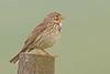 Corn Bunting (drbut) Tags: cornbunting emberizacalandra birtd birds woodland trees avian nature wildlife canonef500f4lisusm