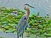 Great Blue Heron ~ Ardea herodias (jasamataz) Tags: blueheron greatblueheron ardeaherodias waterlilies lilypads