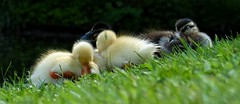 [NT] Baddesley Clinton. Ducklings. May 2018 (SimonHX100v) Tags: ducklings chicks closeup closeupshot closeupphoto closeupphotography bokeh camera bridgecamera photographer nature mothernature may may2018 spring spring2018 springtime outdoor outdoors outside simonhx100v sonyhx100v rspb bbcspringwatch springwatch britbirdlovers bird birds gardenbirds britishbirds birdlover ornithology wildlife aves birdwatching sonyflickraward