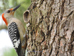 Red-Bellied Woodpecker (carolinawren2) Tags: redbelliedwoodpecker woodpecker piciformes picidae ohio backyard birds birding