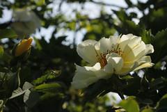 I hagen (dese) Tags: europa june022018 summer sommar june juni 2018 strandvik roses roser fusa hordaland garden hage rose blomstrar vestlandet noreg norway europe yellow gul gule
