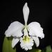 Cattleya gaskelliana fma. alba #16-1 (N.E.Br.) B.S.Williams, Orch.-Grow. Man., ed. 6: 182 (1885)
