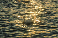 Golden Light (*AdeCo*) Tags: schwan swan bird vogel wasser wasservogel meer ozean ocean sea abend abendsonne sonnenuntergang sunset sunrise tiere animals gold wellen water waves reflexion reflektion romantik romantisch romantic