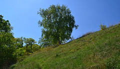 Birch on the steppe slope (МирославСтаменов) Tags: russia birch zhiguli mogutova tree slope meadow