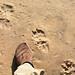 hyena spoor on the beach at Skeleton Coast
