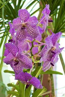 Orchidee Berggarten Hanover