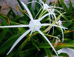 Strange Spider Looking Flower (Stanley Zimny (Thank You for 31 Million views)) Tags: flower bronx botanical garden ny macro white