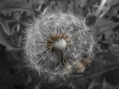 Loosing it! (ashleyjohnhale) Tags: seedhead seeds seed dandelionseeds dandelionseed dandelionhead dandelions dandelion