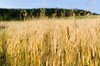 Mother earth gift (ciccioetneo) Tags: pesaro marche campagnamarchigiana campodigrano grano wheat wheatear wheatfield ciccioetneo nikond7000 nikon2470mm28