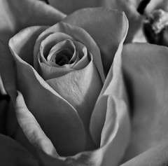 A happy yellow rose!😊 (LeanneHall3 :-)) Tags: blackandwhite mono rose petals rosepetals closeup closeupphotography macrophotography macroflowerlovers flower flowersarefabulous flowersarebeautiful flowerflowerflower canon 1300d