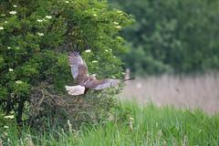 Marsh Harrier (male) @ Folwmere (Bob G2007) Tags: birds cambridgeshire europe fowlmere marshharrier places unitedkingdom england