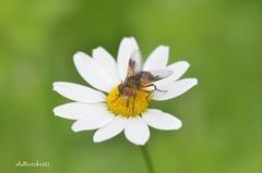 ... Ectophasia crassipennis (female) su asteracea (Plebejus argus) Tags: nikon7000 sigma150 macro it lazio monti lepini insetti diptera phasiinae tachinidae ectophasia crassipennis male