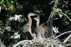 Object of Eagle's desire. (Sandy Paiement) Tags: greatblueheron ardeaherodias
