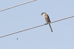Long-tailed Shrike at Ranthambore S24A9486 (grebberg) Tags: ranthambore bird rajasthan india march 2018 longtailedshrike laniusschach lanius shrike