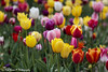 20180428-2435-Tulp (Rob_Boon) Tags: delft plant tulp robboon cityscape cityarchitecture netherlands southholland tulip