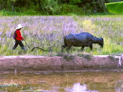 Beast Of Burden (Artypixall) Tags: philippines bohol ruralscene ricefield waterbuffalo farmer plowing faa