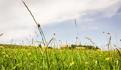 Holwick Meadows . (wayman2011) Tags: colinhart fujifilmxf18mmf2lightroom5 fujifilmxt10 wayman2011 rural countryside flora flowers grasses meadows colour pennines dales teesdale holwick countydurham uk