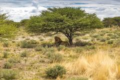    lion.nam    (_Jimmy_B) Tags: etosha namibia lion löwe wild safari animals africa etoshanationalpark katze groskatze wildtier panthera leo predator raubtier nature natur