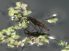 Pond Skater (amy's antics) Tags: water creature weed reflection legs pondskater