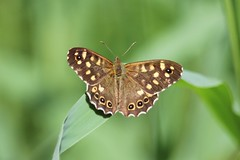 Speckled Wood. Explored. (Wildlife Terry) Tags: rspbleightonmoss speckledwood butterfly parargeaegeria explore june2018