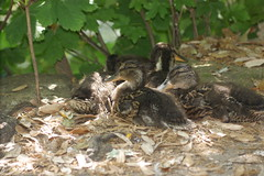 DSC09229 (The Unofficial Photographer (CFB)) Tags: deardiaryjune2018 ewellcourtlibrary birds featheredfriends
