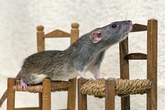 Rat on the chairs (Tambako the Jaguar) Tags: rat rodent pet female profile portrait gray chairs props zürich switzerland nikon d5